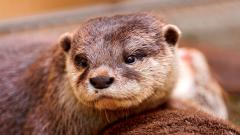 Otter Wallpaper 44525