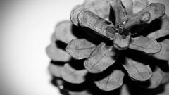 Pinecone Wallpaper 23358