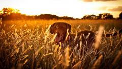 Stunning Dog Field Wallpaper 44808