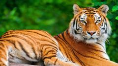 Tiger Desktop HD Wallpaper 32043