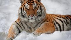 Tiger Wallpaper 32049