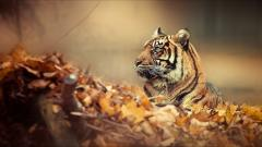 Tiger Wallpaper 32051