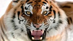 Tigers 32041