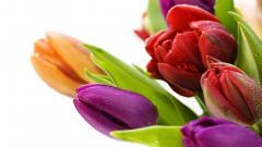 Tulips 44626