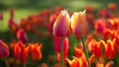 Tulips Wallpaper 44630