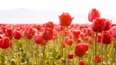 Tulips Wallpaper 44632