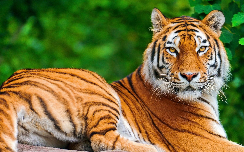 tiger desktop hd wallpaper 32043 2880x1800 px ~ hdwallsource