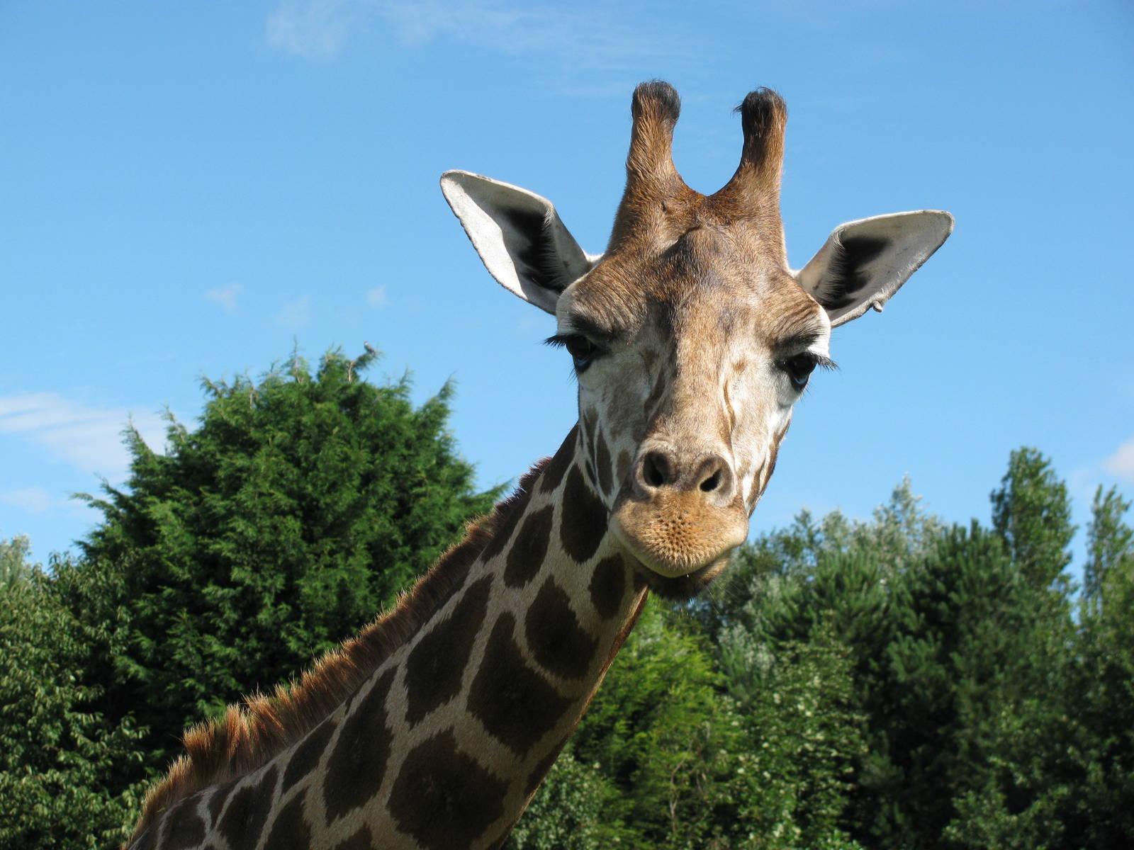 giraffe 3497