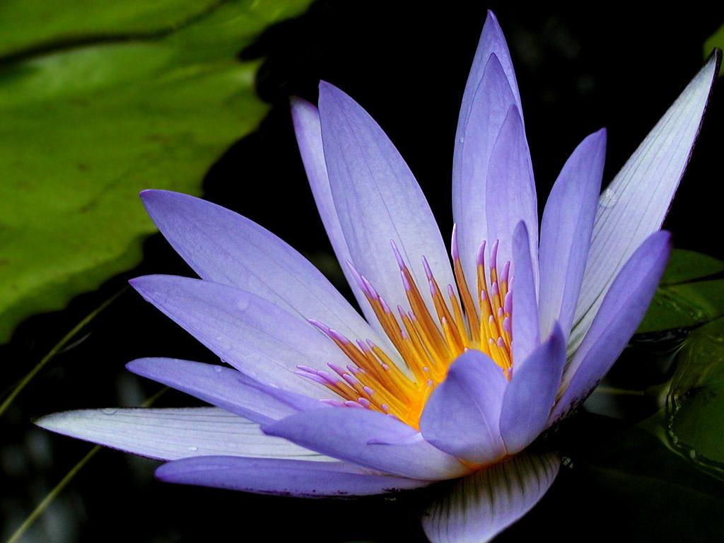 beautiful purple lotus 22568