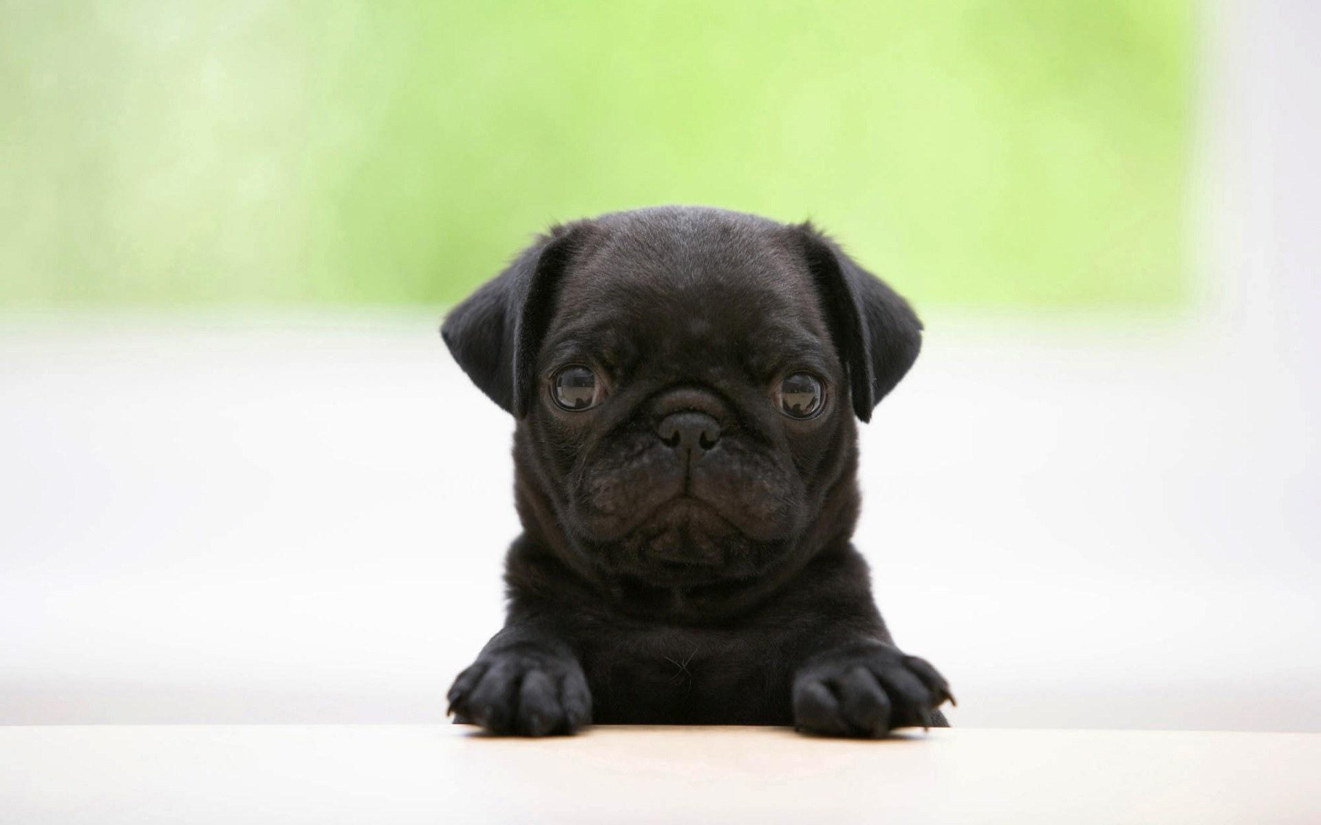 black pug wallpaper 22273