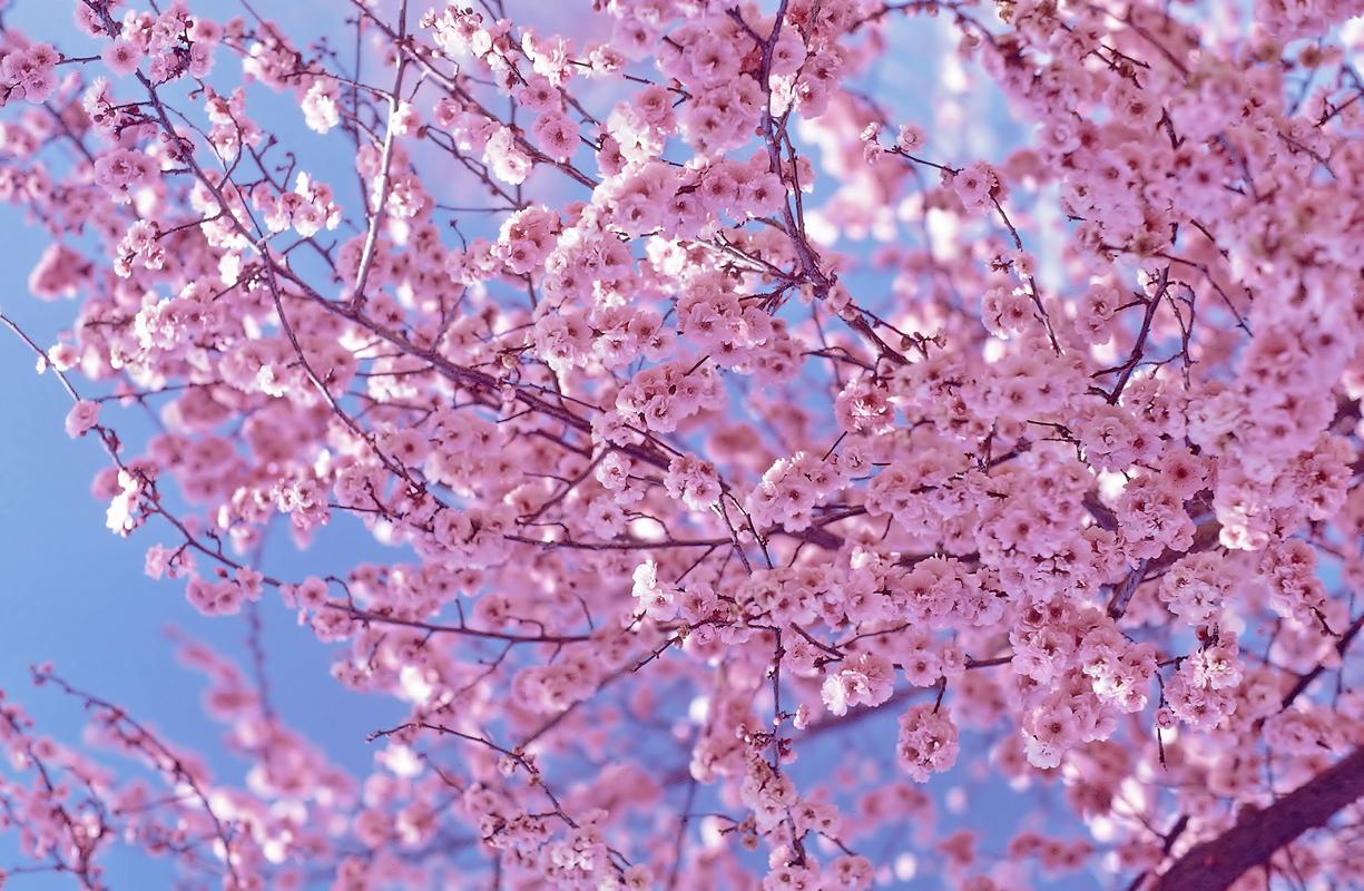 cherry blossom wallpaper 6555