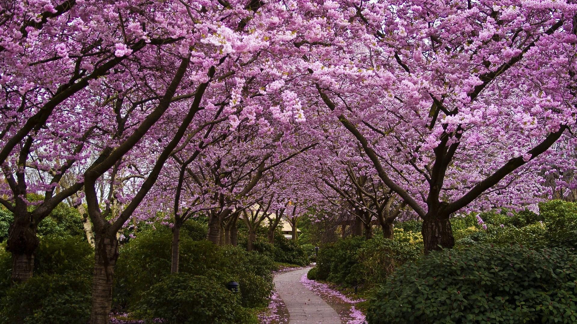 cherry blossom wallpaper 6560