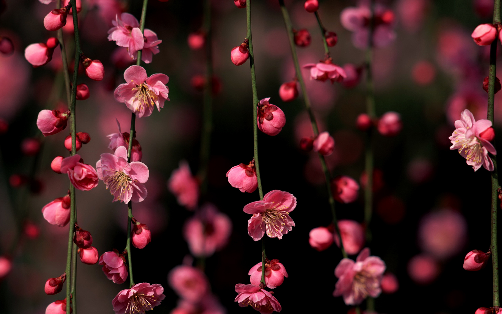Photo Collection Wallpaper Red Cherry Blossom