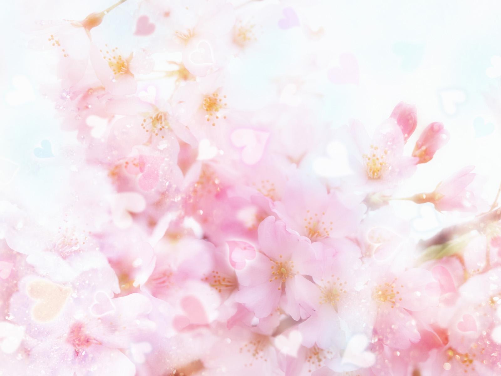 cherry blossom wallpaper 6570