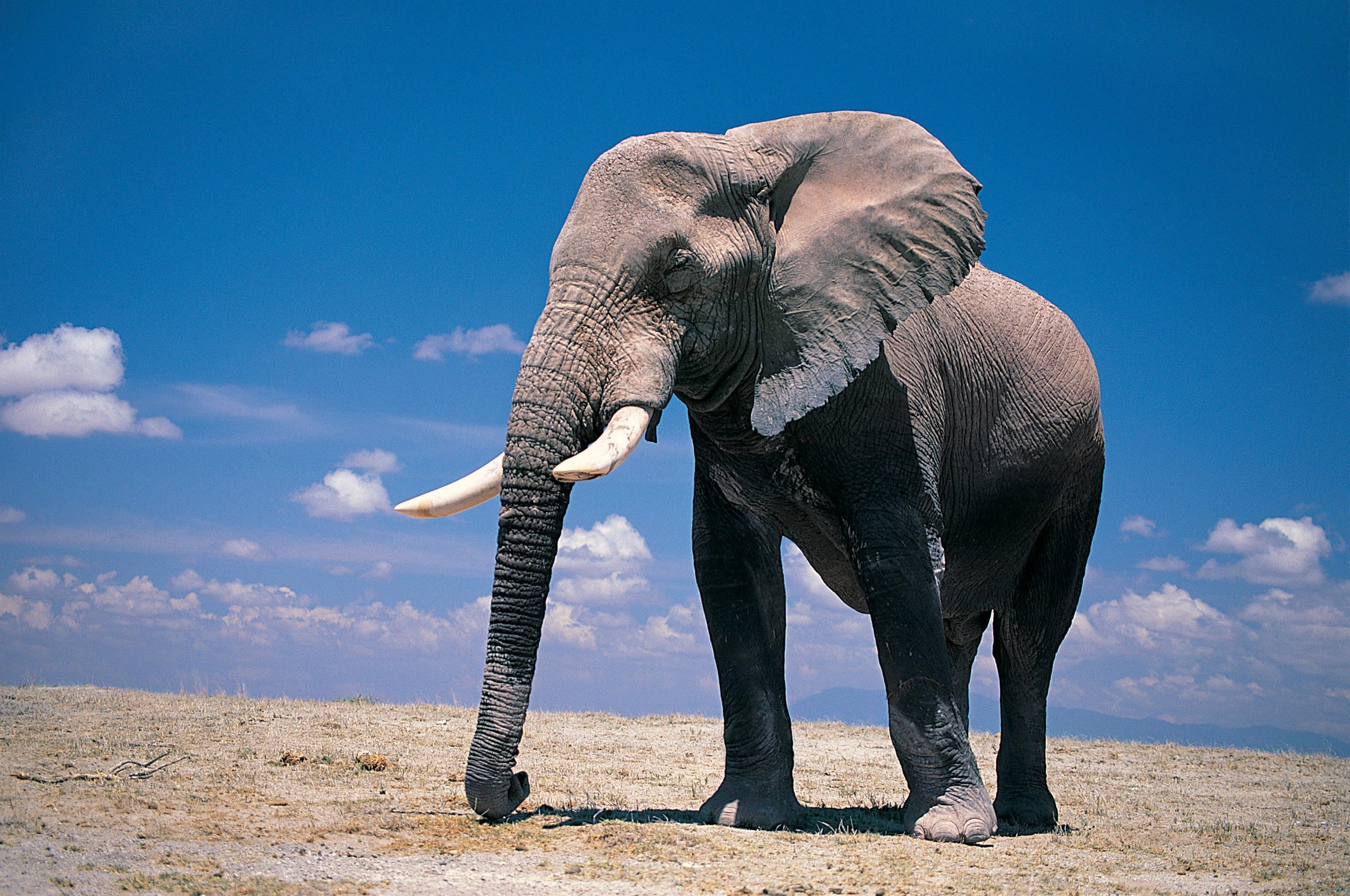 elephant wallpaper 10476