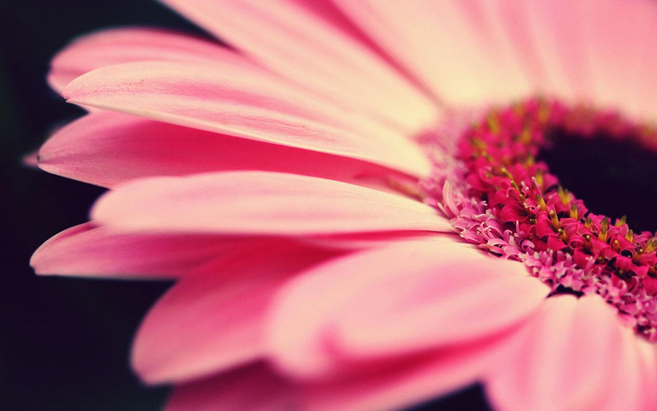 free gerbera daisies wallpaper 23928