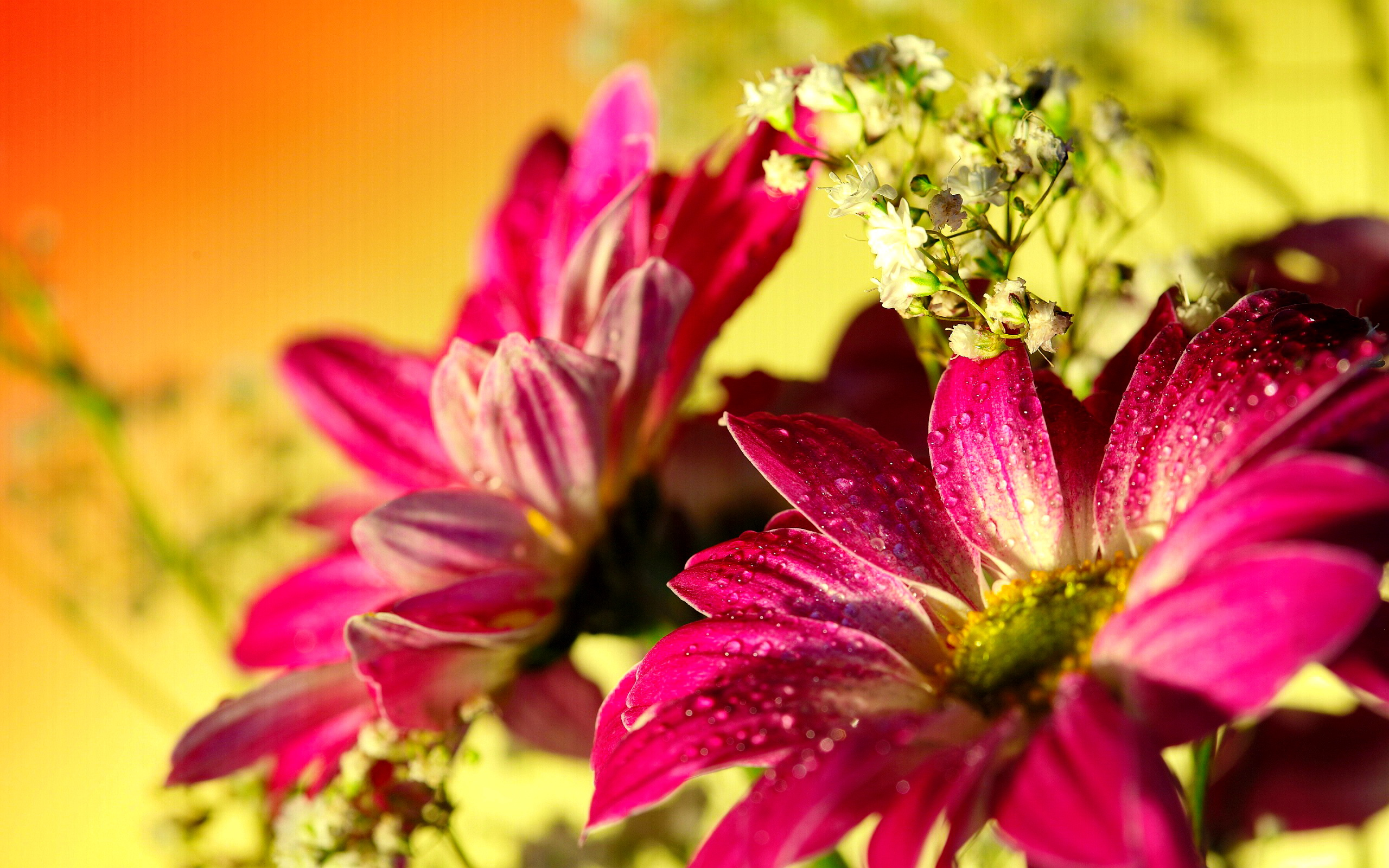 gerberas daisy wallpaper 23916