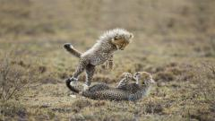 Adorable Baby Cheetah Wallpaper 30511