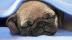 Adorable Pug Wallpaper 22277