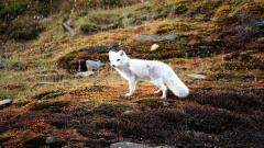 Arctic Fox 20048
