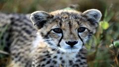 Baby Cheetah 30514