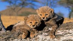 Baby Cheetah Pictures 30512