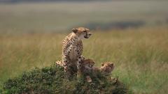 Baby Cheetah Wallpaper 30510
