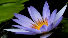 Beautiful Purple Lotus 22568