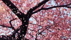 Cherry Blossom 8882