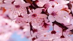 Cherry Blossom Wallpaper 6554