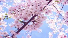 Cherry Blossom Wallpaper 6556