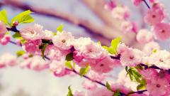 Cherry Blossom Wallpaper 6557