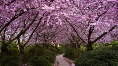 Cherry Blossom Wallpaper 6560