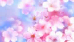 Cherry Blossom Wallpaper 6561