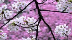 Cherry Blossom Wallpaper 6563