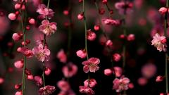 Cherry Blossom Wallpaper 6565