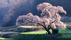 Cherry Blossom Wallpaper 6566