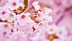 Cherry Blossom Wallpaper 6571