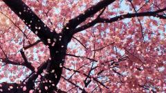 Cherry Blossom Wallpaper 6575