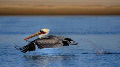 Cool Pelican Wallpaper 38094