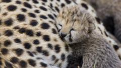 Cute Baby Cheetah Wallpaper 30516