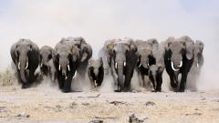Elephant Wallpaper 10458