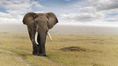 Elephant Wallpaper 10460