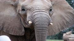 Elephant Wallpaper 10465