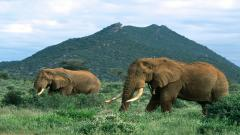Elephant Wallpaper 10468