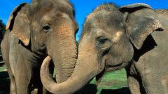 Elephant Wallpaper 10475