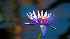Free Purple Lotus Wallpaper 22569
