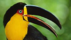 Free Toucan Bird Wallpaper 19913
