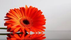 Orange Gerberas 23932
