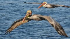 Pelican Background 38087